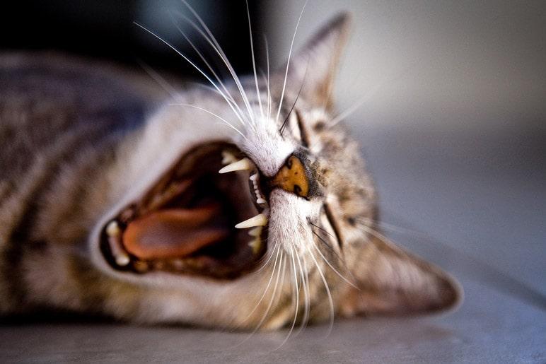 gatto dolore